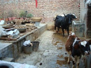 der Kuhstall, wo die Tiere sehr kurz angepflockt gehalten werden