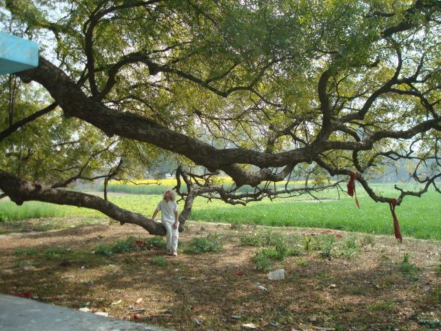 Der König der Bäume Indiens: der Neem (darunter Rainer)