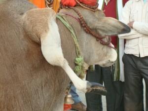 aus einer Kuh ragt das Bein eines Zwillings-Kalbes