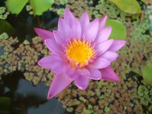 Lotus (nachts schläft sie)