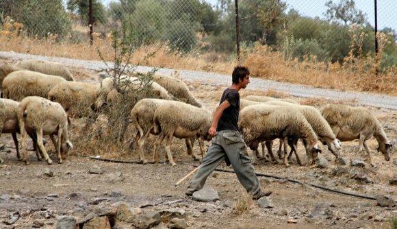 Hirte-Schafe-Bauernhof-Griechenland_580